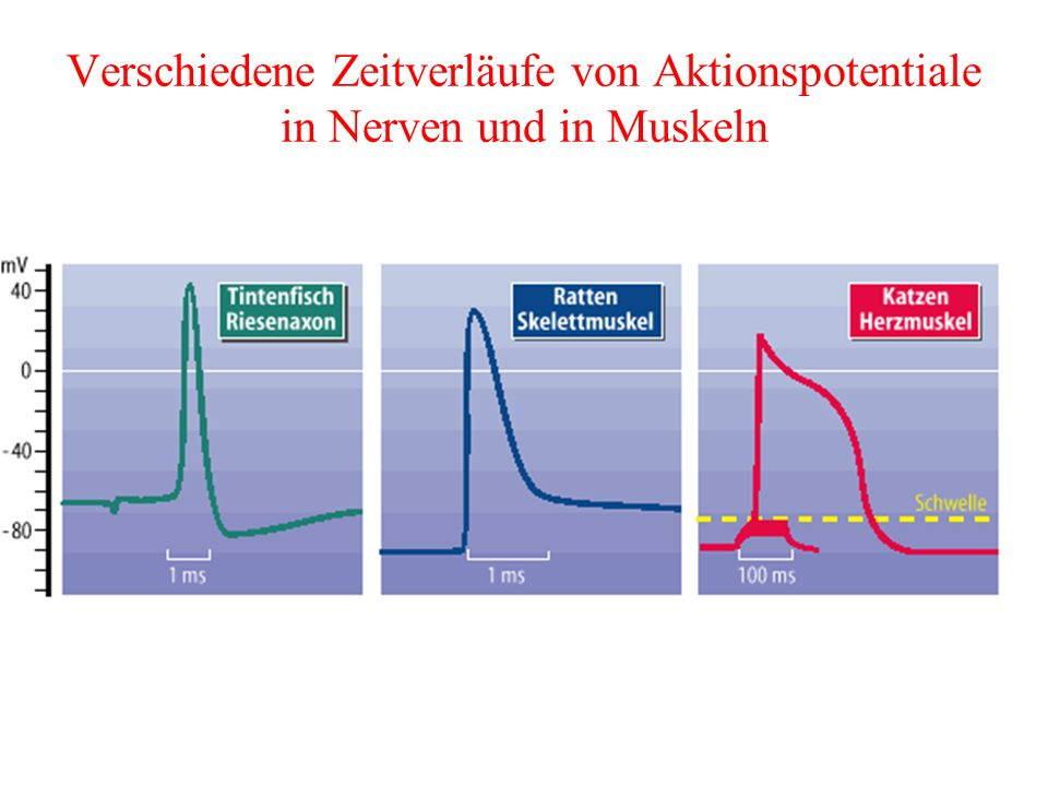 Verschiedene Zeitverläufe von Aktionspotentiale in Nerven und in Muskeln