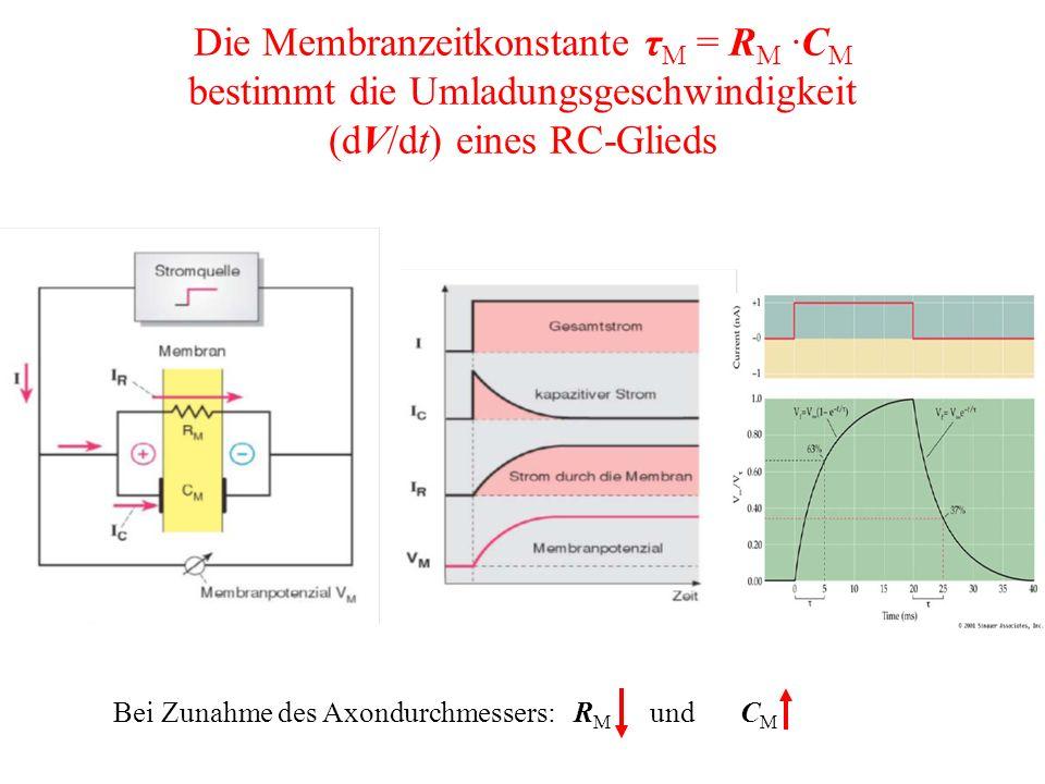 Die Membranzeitkonstante τM = RM ·CM bestimmt die Umladungsgeschwindigkeit (dV/dt) eines RC-Glieds