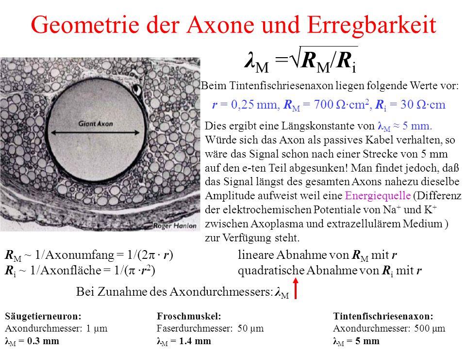 Geometrie der Axone und Erregbarkeit