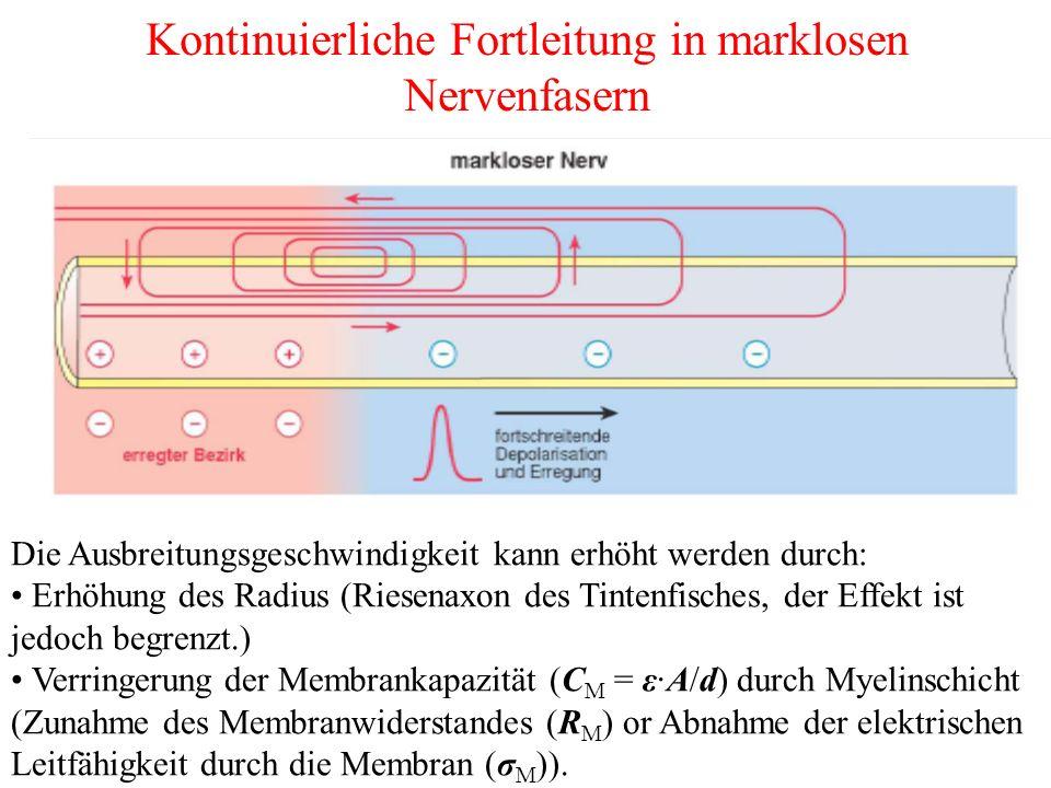 Kontinuierliche Fortleitung in marklosen Nervenfasern