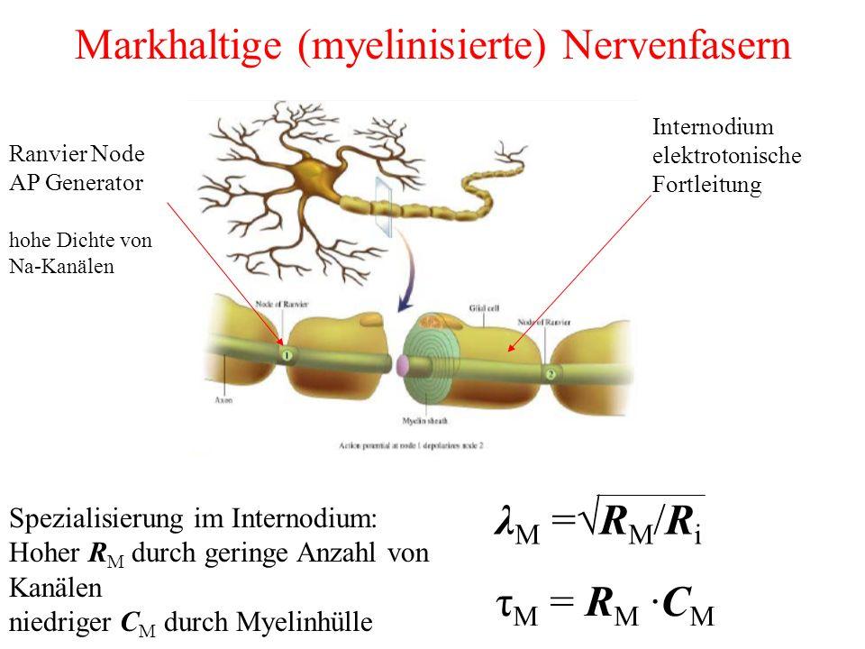 Markhaltige (myelinisierte) Nervenfasern