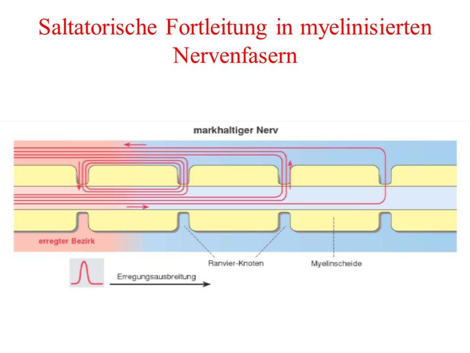 Saltatorische Fortleitung in myelinisierten Nervenfasern