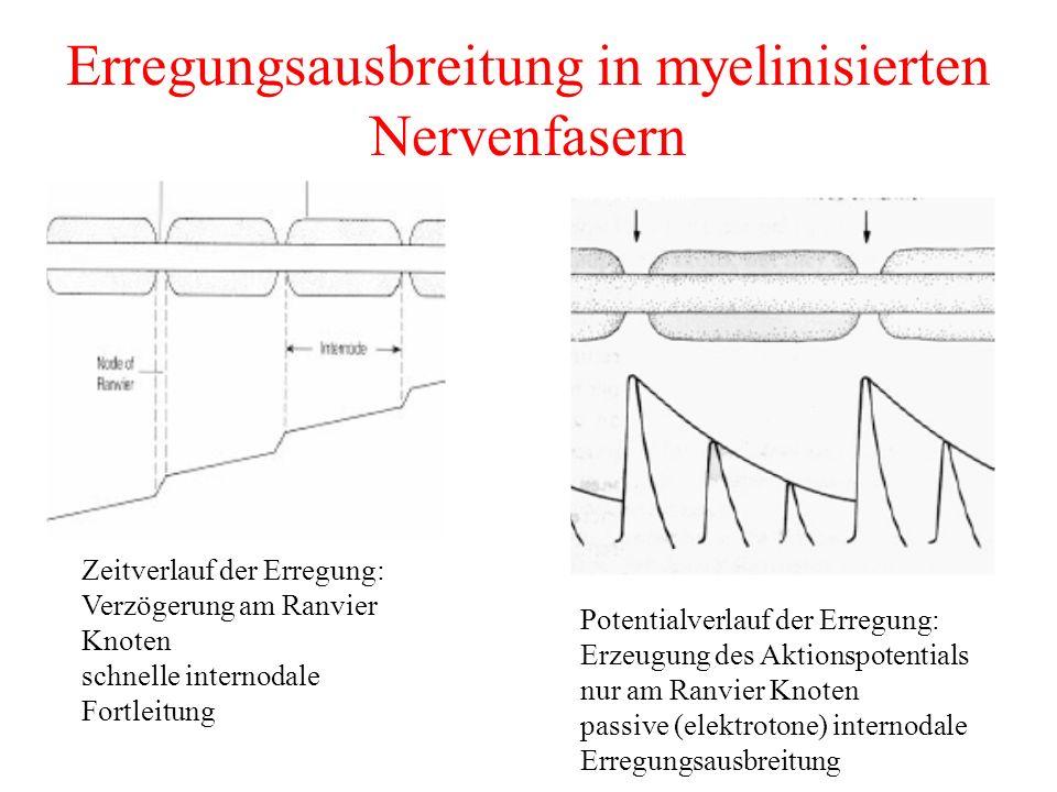 Erregungsausbreitung in myelinisierten Nervenfasern
