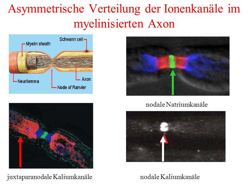 Asymmetrische Verteilung der Ionenkanäle im myelinisierten Axon