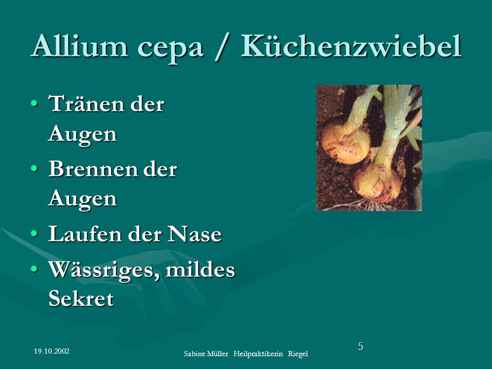 Allium cepa / Küchenzwiebel