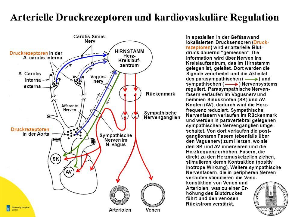 Arterielle Druckrezeptoren und kardiovaskuläre Regulation