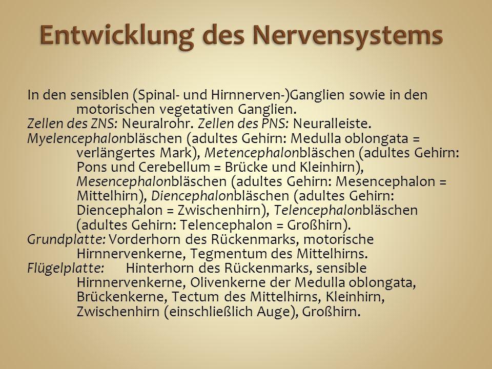 Entwicklung des Nervensystems