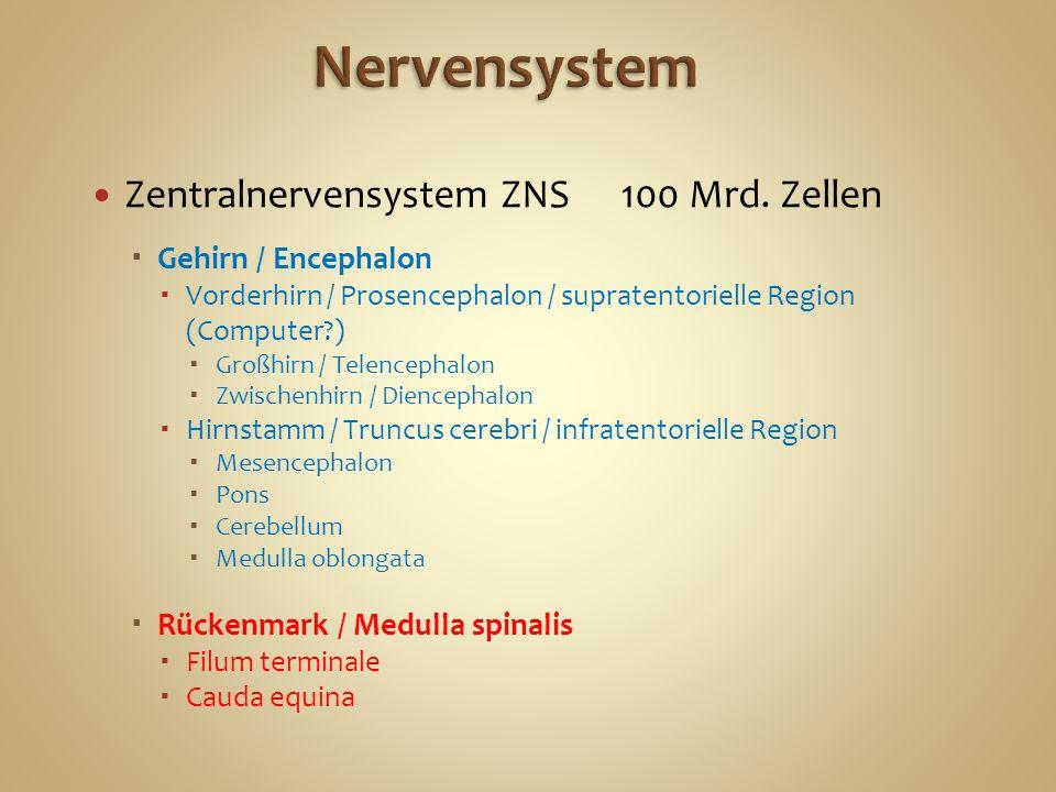 Nervensystem Zentralnervensystem ZNS 100 Mrd. Zellen