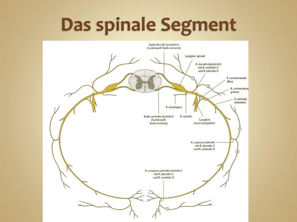 Das spinale Segment