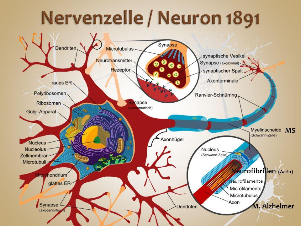 Nervenzelle / Neuron 1891 MS Neurofibrillen (Actin) M. Alzheimer
