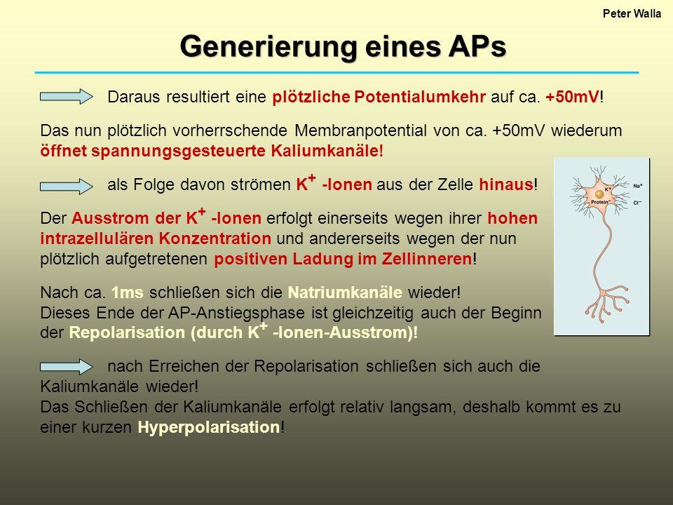 Peter Walla Generierung eines APs. Daraus resultiert eine plötzliche Potentialumkehr auf ca. +50mV!
