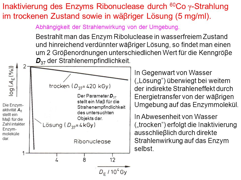 Inaktivierung des Enzyms Ribonuclease durch 60Co γ-Strahlung im trockenen Zustand sowie in wäβriger Lösung (5 mg/ml).