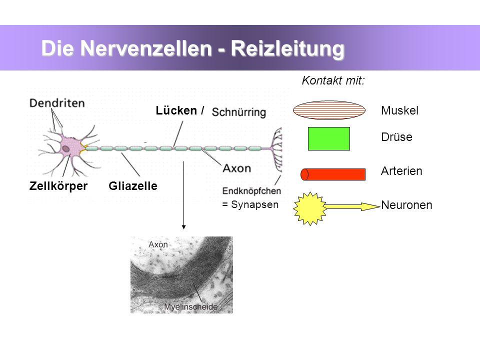Die Nervenzellen - Reizleitung