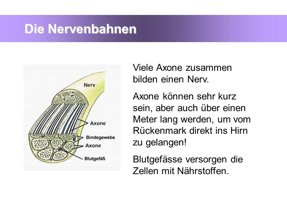 Die Nervenbahnen Viele Axone zusammen bilden einen Nerv.