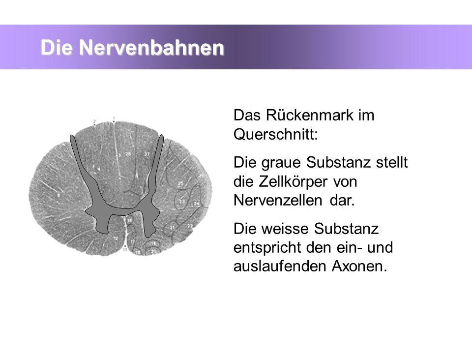 Die Nervenbahnen Das Rückenmark im Querschnitt: