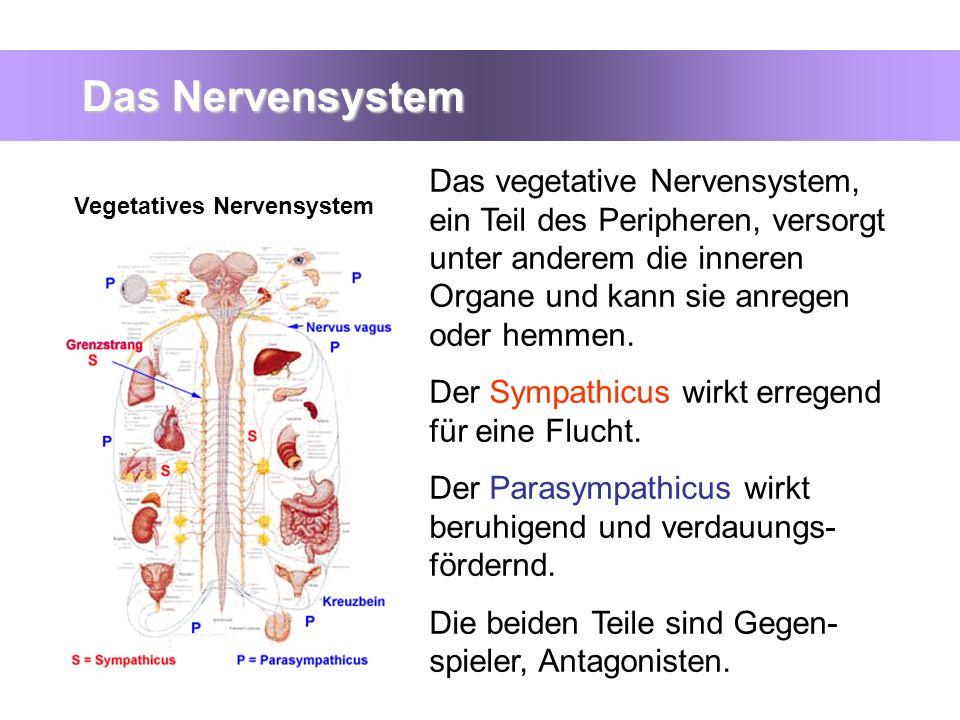 Das Nervensystem Das vegetative Nervensystem, ein Teil des Peripheren, versorgt unter anderem die inneren Organe und kann sie anregen oder hemmen.