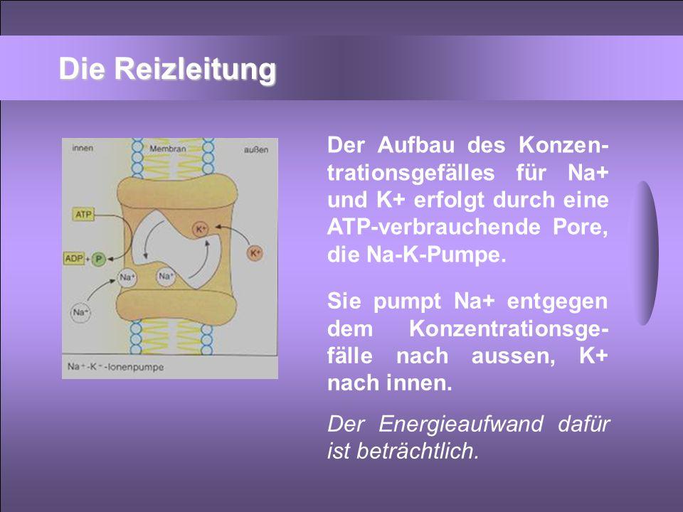 Die Reizleitung Der Aufbau des Konzen-trationsgefälles für Na+ und K+ erfolgt durch eine ATP-verbrauchende Pore, die Na-K-Pumpe.