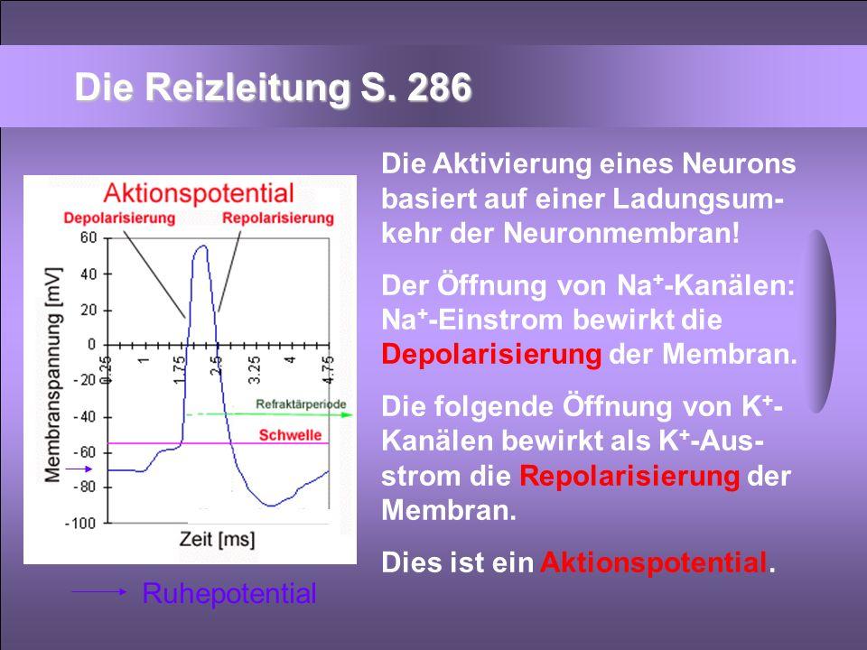 Die Reizleitung S. 286 Die Aktivierung eines Neurons basiert auf einer Ladungsum-kehr der Neuronmembran!
