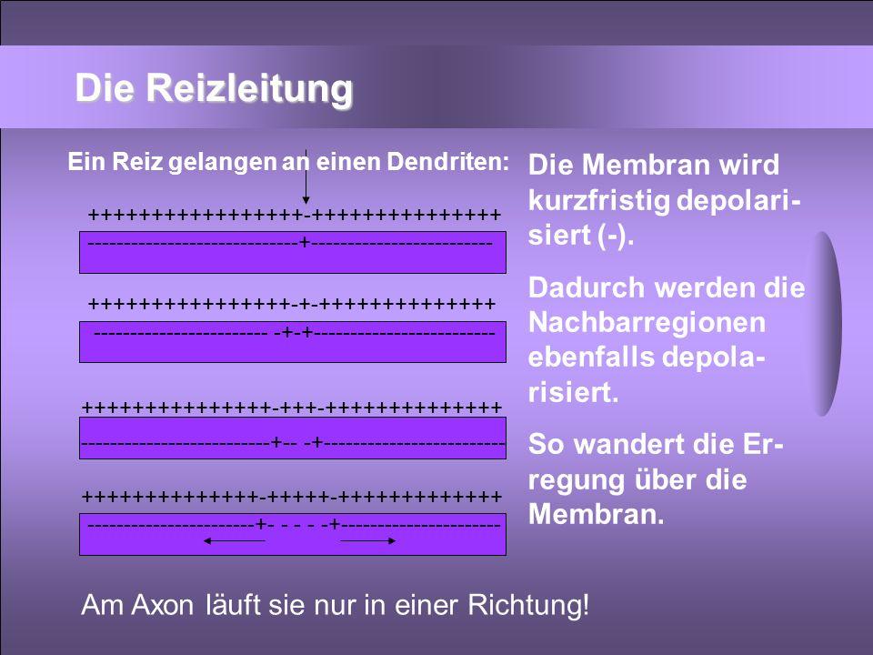 Die Reizleitung Die Membran wird kurzfristig depolari-siert (-).