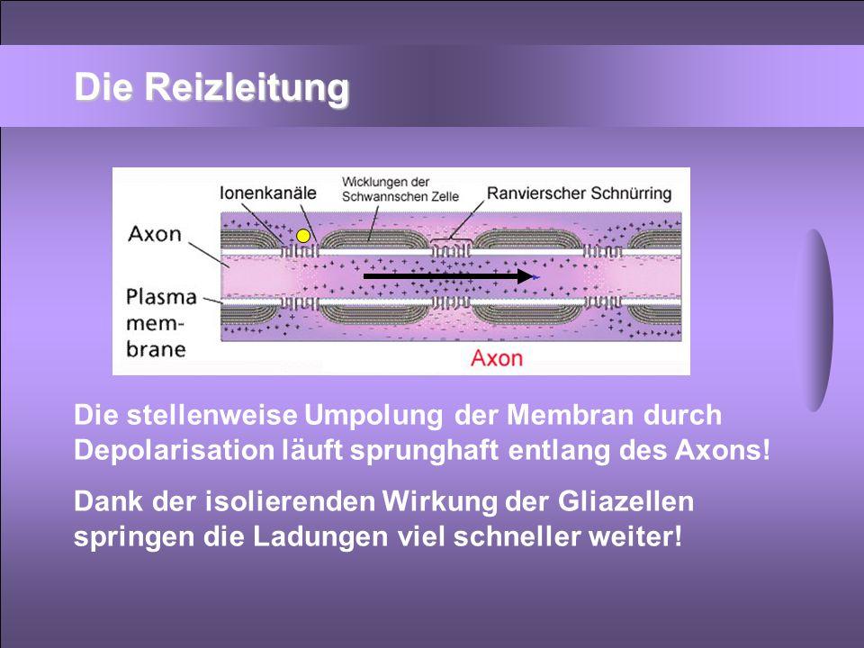 Die Reizleitung Die stellenweise Umpolung der Membran durch Depolarisation läuft sprunghaft entlang des Axons!