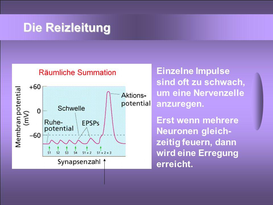 Die Reizleitung Einzelne Impulse sind oft zu schwach, um eine Nervenzelle anzuregen.