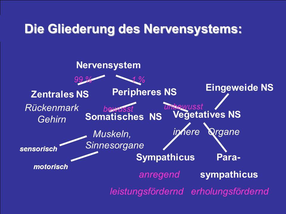 Die Gliederung des Nervensystems: