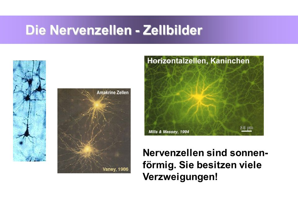 Die Nervenzellen - Zellbilder