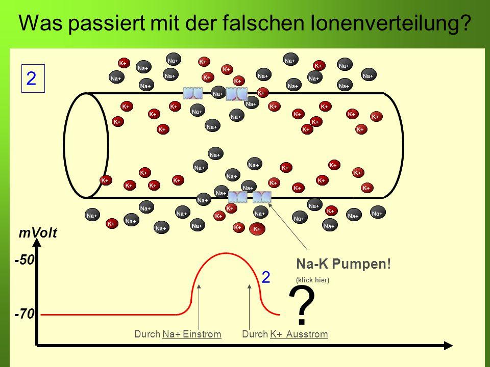 Was passiert mit der falschen Ionenverteilung