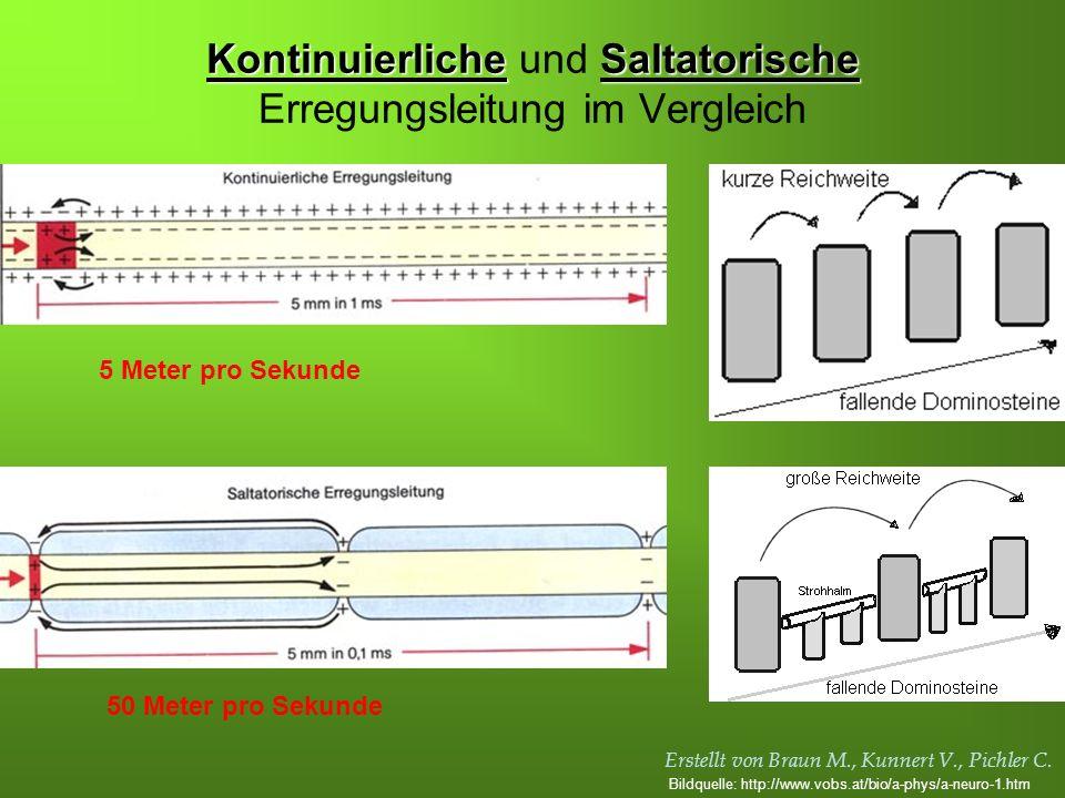 Kontinuierliche und Saltatorische Erregungsleitung im Vergleich
