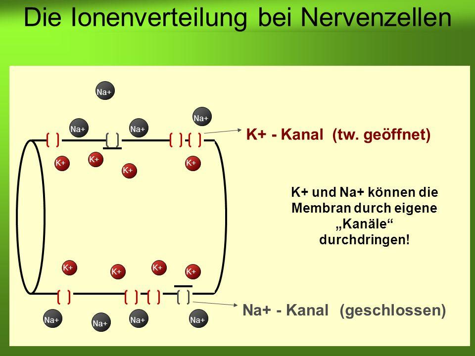 """K+ und Na+ können die Membran durch eigene """"Kanäle durchdringen!"""