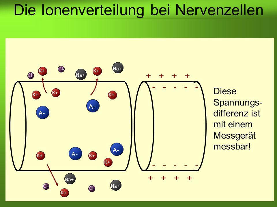 Die Ionenverteilung bei Nervenzellen