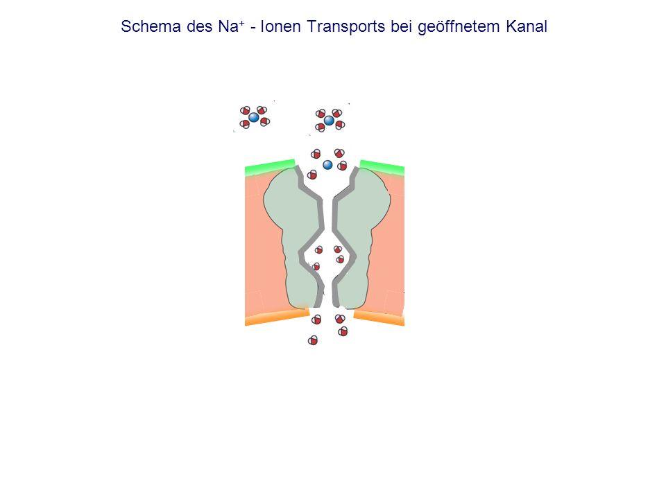 Schema des Na+ - Ionen Transports bei geöffnetem Kanal