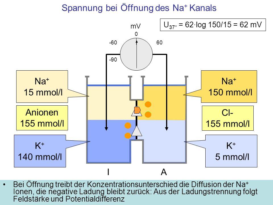 Spannung bei Öffnung des Na+ Kanals