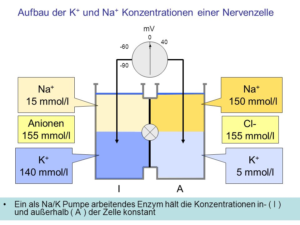 Aufbau der K+ und Na+ Konzentrationen einer Nervenzelle