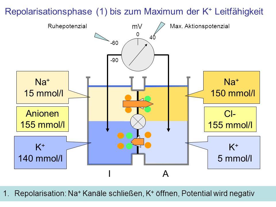 Repolarisationsphase (1) bis zum Maximum der K+ Leitfähigkeit