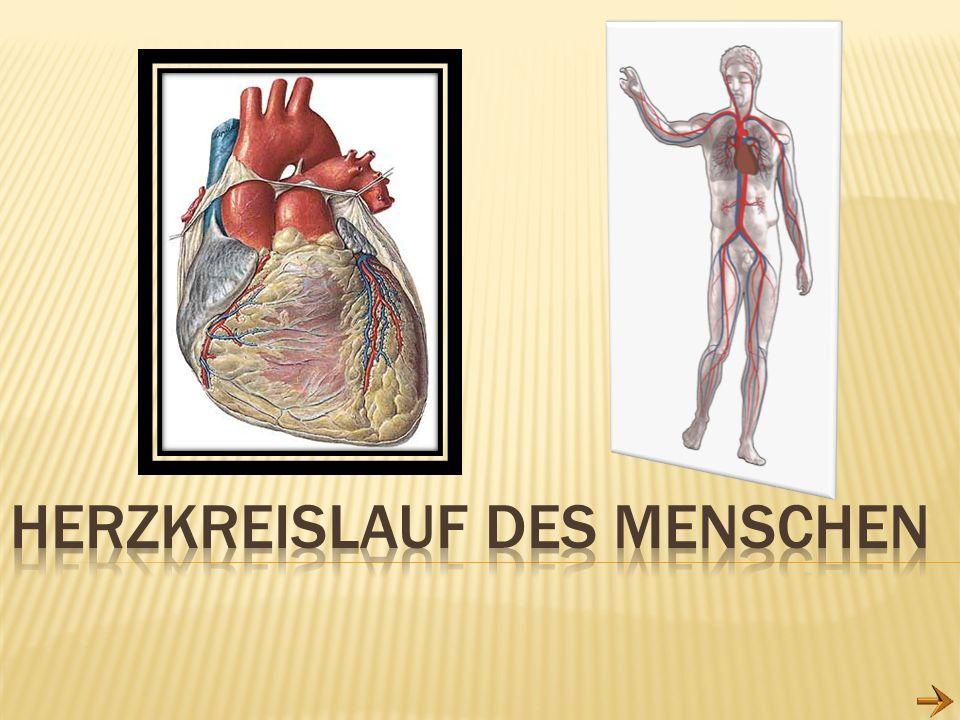 Herzkreislauf des Menschen
