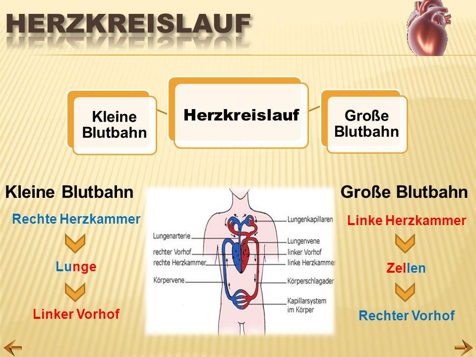 Herzkreislauf Kleine Blutbahn Große Blutbahn Herzkreislauf