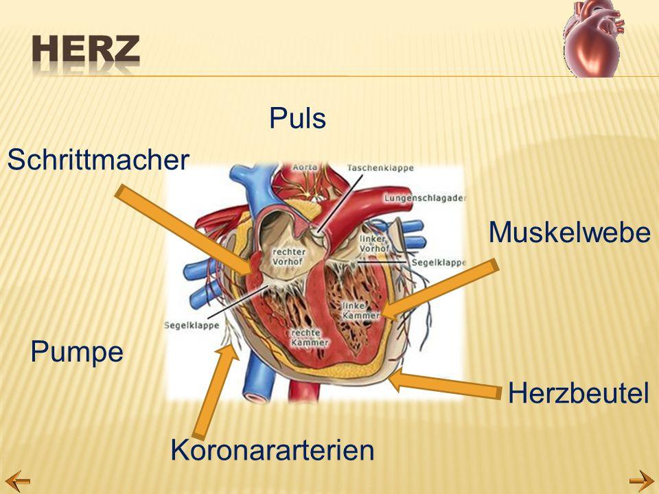 Herz Puls Schrittmacher Muskelwebe Pumpe Herzbeutel Koronararterien