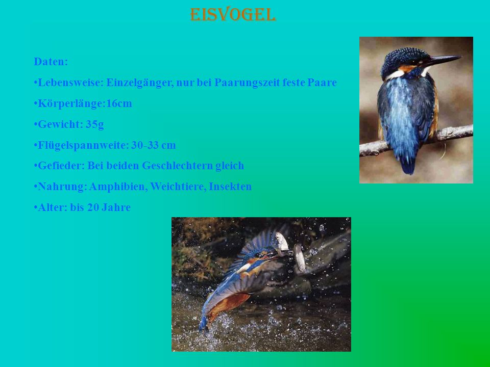EISVOGEL Daten: Lebensweise: Einzelgänger, nur bei Paarungszeit feste Paare. Körperlänge:16cm.