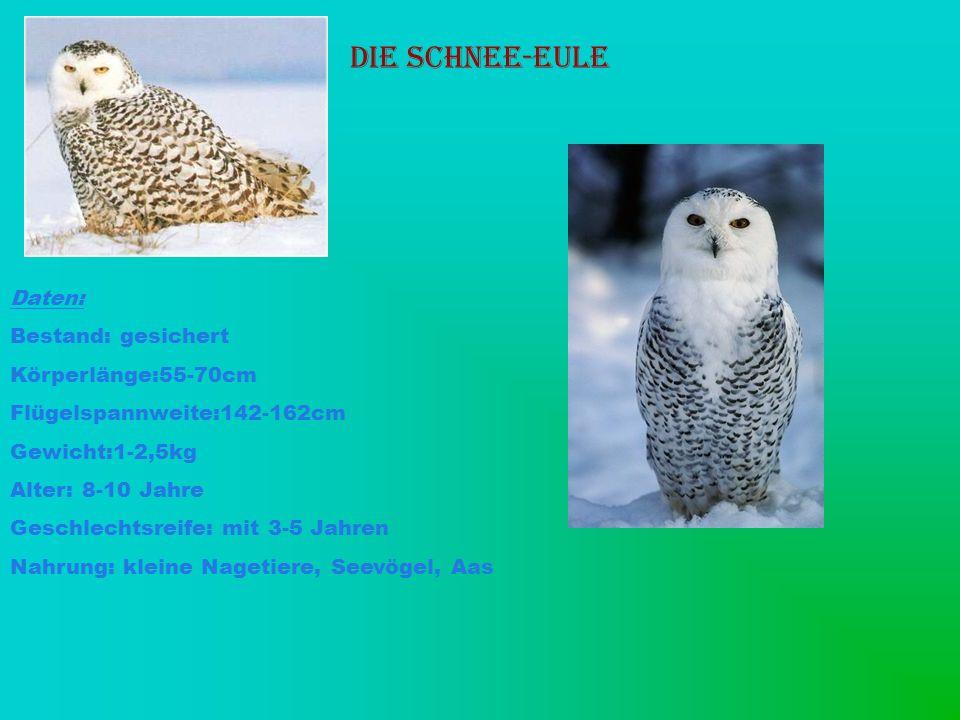 Die Schnee-Eule Daten: Bestand: gesichert Körperlänge:55-70cm