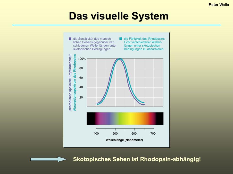 Das visuelle System Skotopisches Sehen ist Rhodopsin-abhängig!