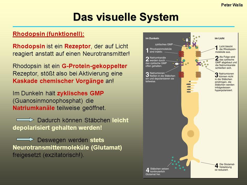 Das visuelle System Rhodopsin (funktionell):