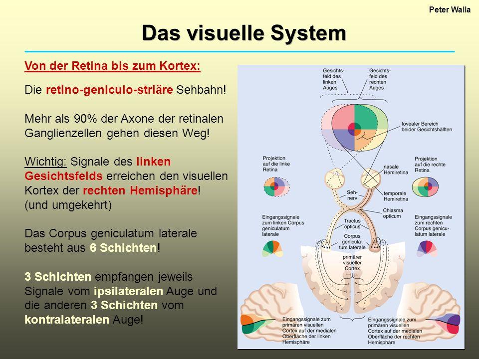Das visuelle System Von der Retina bis zum Kortex: