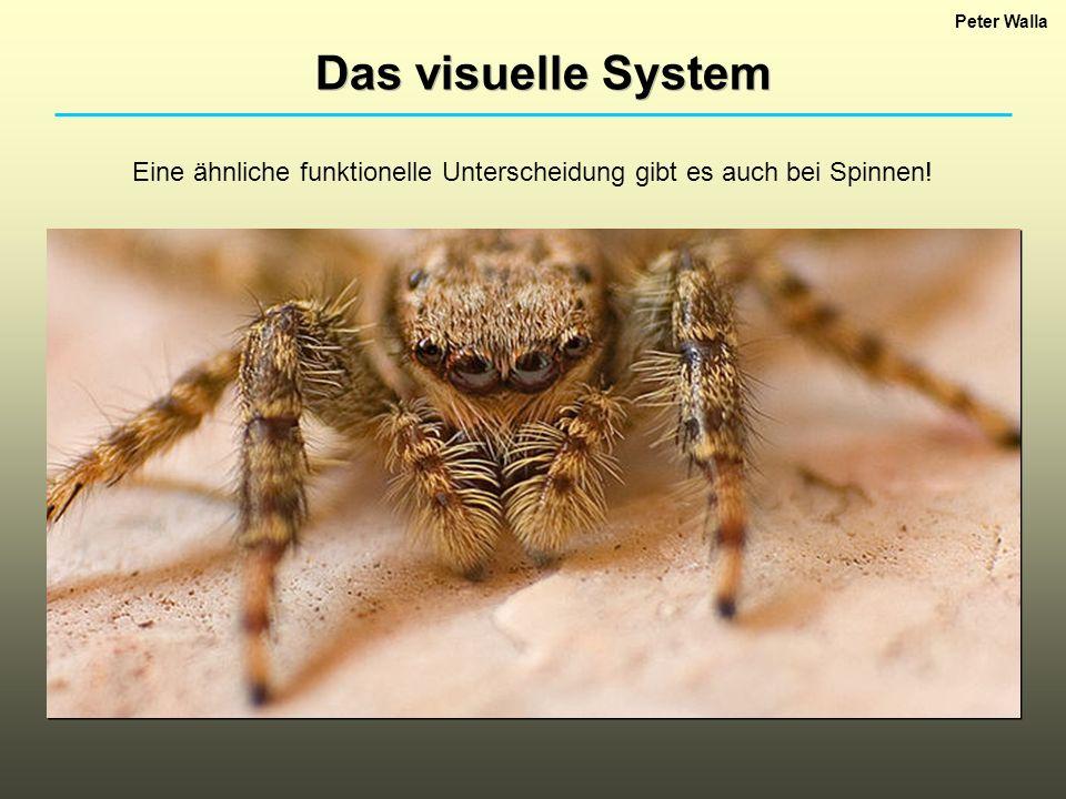 Peter Walla Das visuelle System Eine ähnliche funktionelle Unterscheidung gibt es auch bei Spinnen!