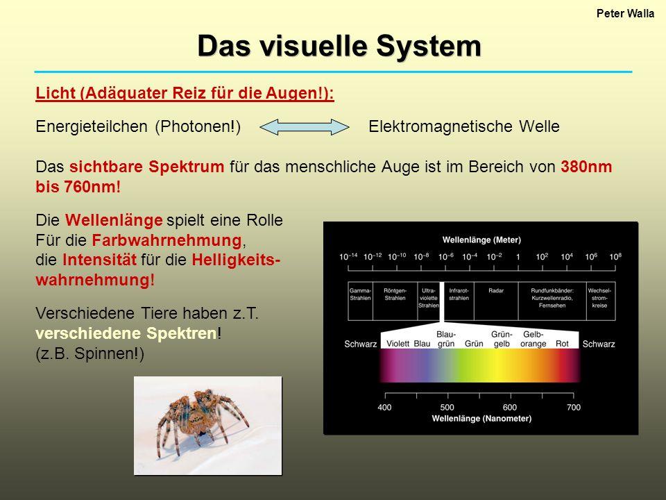 Das visuelle System Licht (Adäquater Reiz für die Augen!):