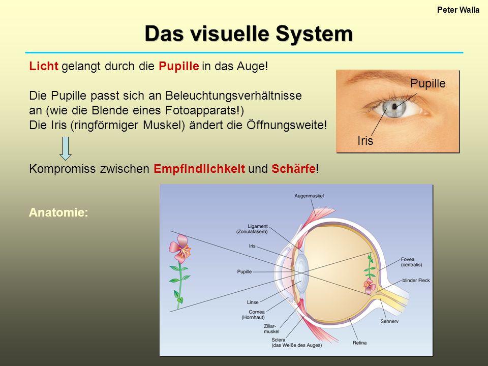 Das visuelle System Licht gelangt durch die Pupille in das Auge!