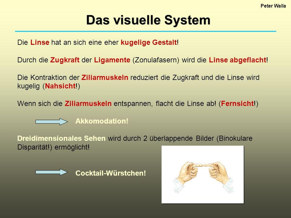 Das visuelle System Die Linse hat an sich eine eher kugelige Gestalt!