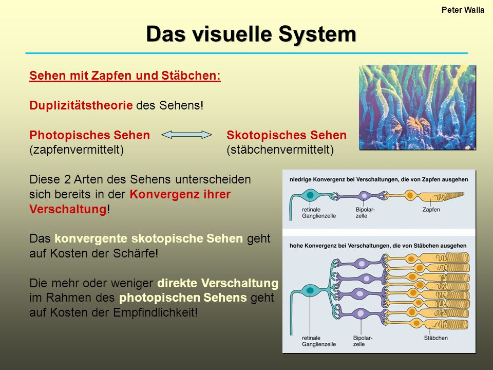 Das visuelle System Sehen mit Zapfen und Stäbchen: