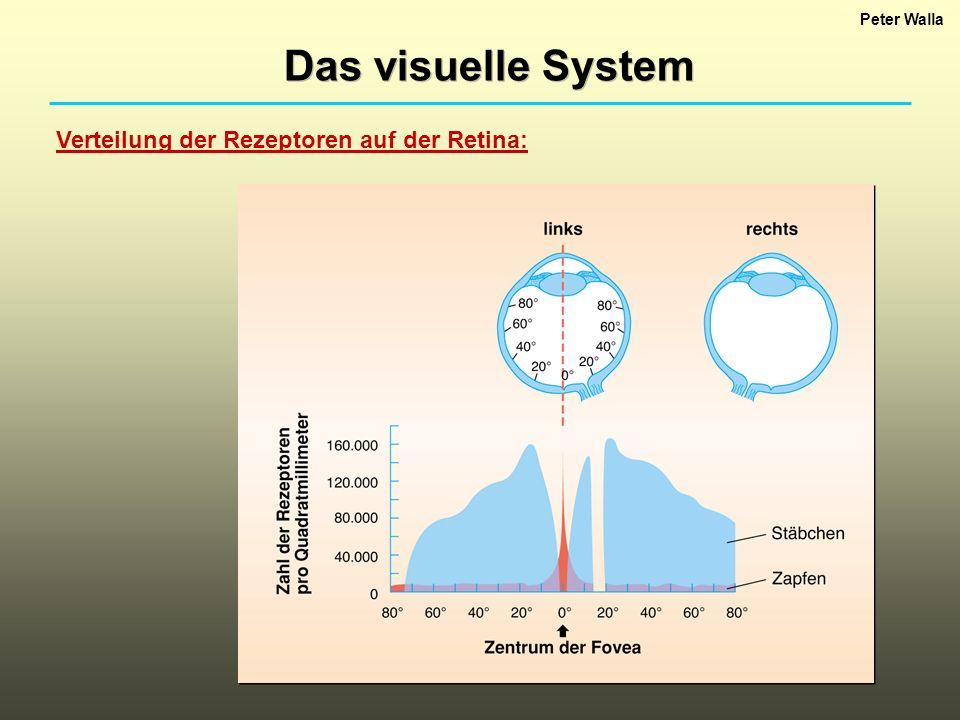 Das visuelle System Verteilung der Rezeptoren auf der Retina:
