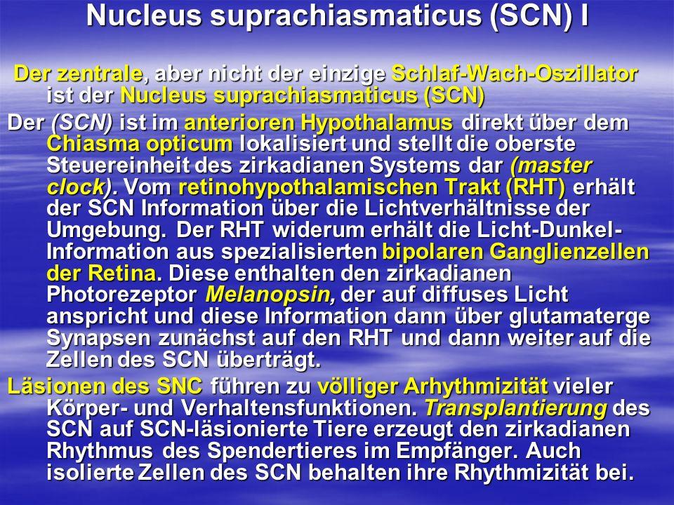 Nucleus suprachiasmaticus (SCN) I